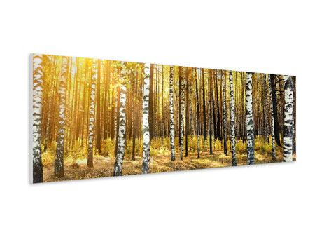 Panoramic Forex Print Birch Forest