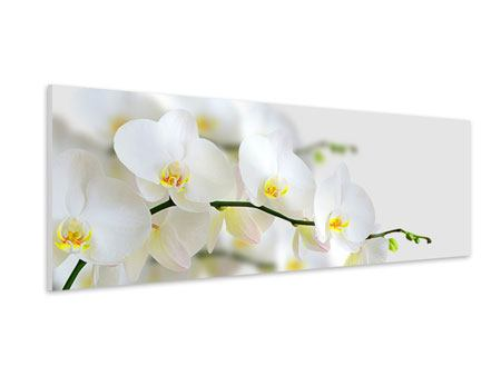 Panoramic Forex Print White Orchids