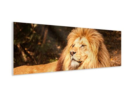 Panoramic Forex Print Lion