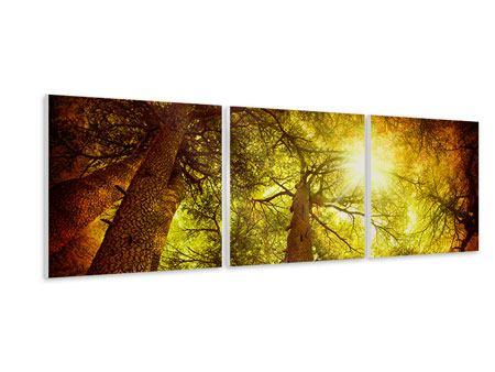 Panoramic 3 Piece Forex Print Cedar Tree
