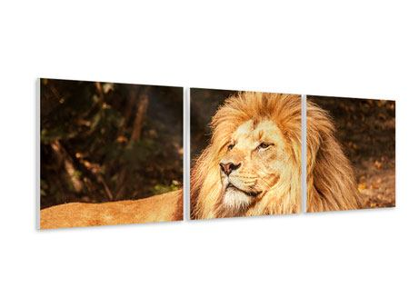 Panoramic 3 Piece Forex Print Lion
